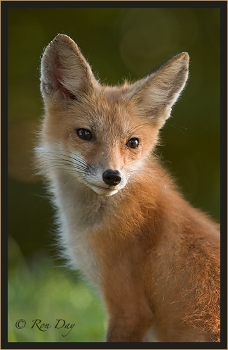 Red Fox (Vulpes vulpes), Looking Back